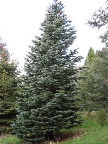 Abies Magnifica California Red Fir Conifer Species American