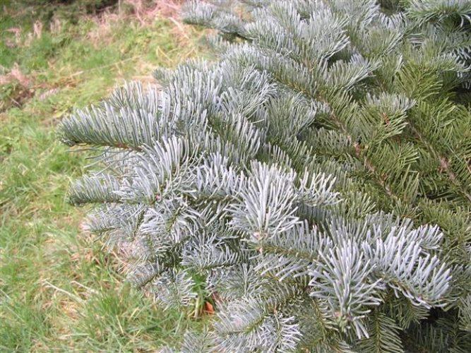 Abies Magnifica California Red Fir Conifer Species American
