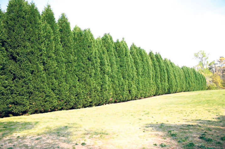 cupressus leylandii leyland cypress conifer species american conifer society