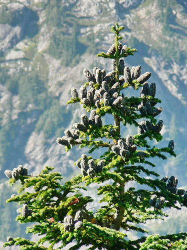 Abies Lasiocarpa Subalpine Fir Conifer Species American