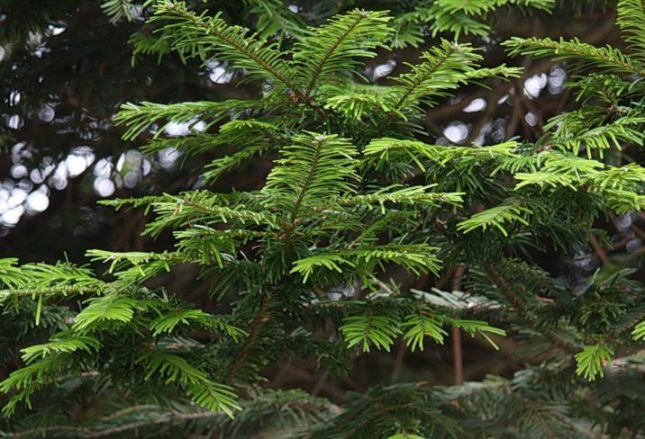 Abies Grandis Grand Fir Conifer Species American Conifer Society