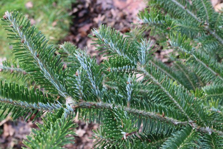Abies Fraseri Fraser039s Fir Conifer Species American
