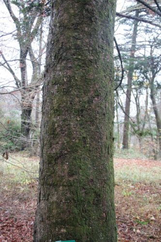 Abies Firma Momi Fir Conifer Species American Conifer Society