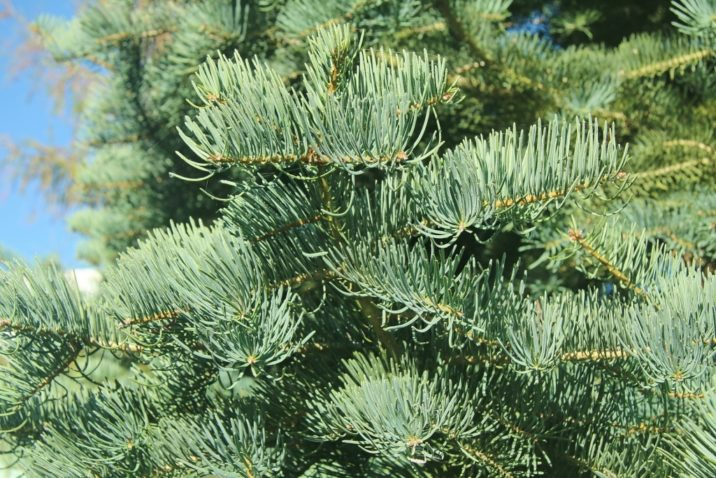 Abies Concolor White Fir Conifer Species American Conifer Society