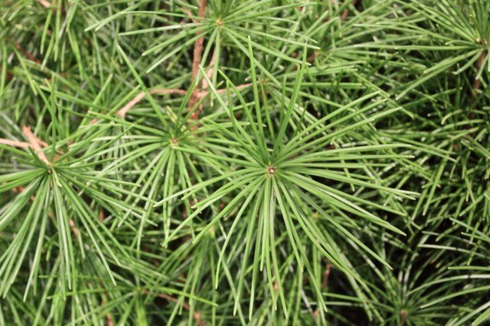 Sciadopitys Verticillata Wintergreen Wintergreen Japanese