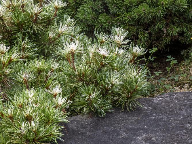 Pinus parviflora 'Tanima no yuki' / Snow of the Valley ...
