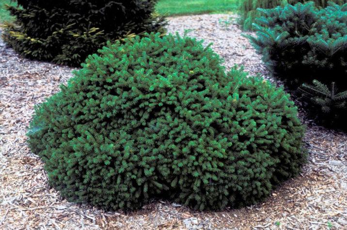 Picea Abies Pumila Nigra Dwarf Black Norway Spruce Conifer