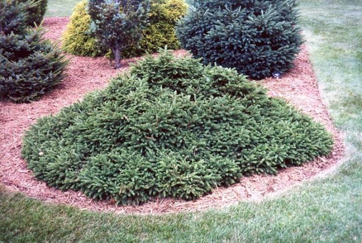 Picea Abies Pumila Dwarf Norway Spruce Conifer Trinomial