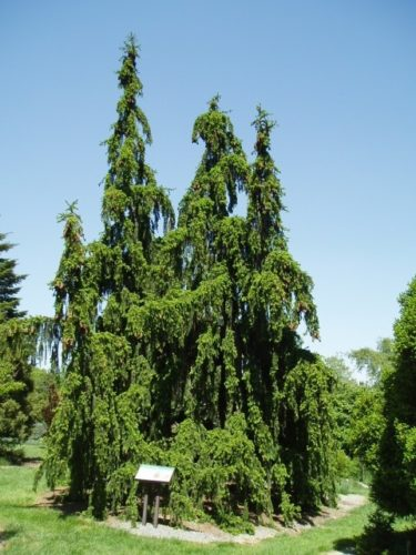 Picea Abies Pendula Weeping Norway Spruce Conifer Trinomial