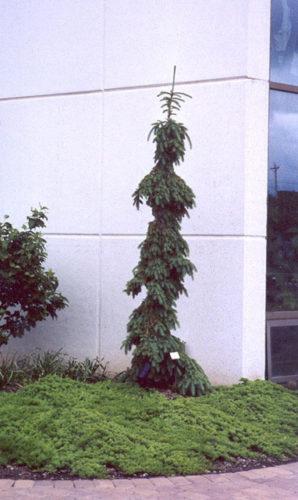 Picea Glauca Pendula Weeping White Spruce Conifer