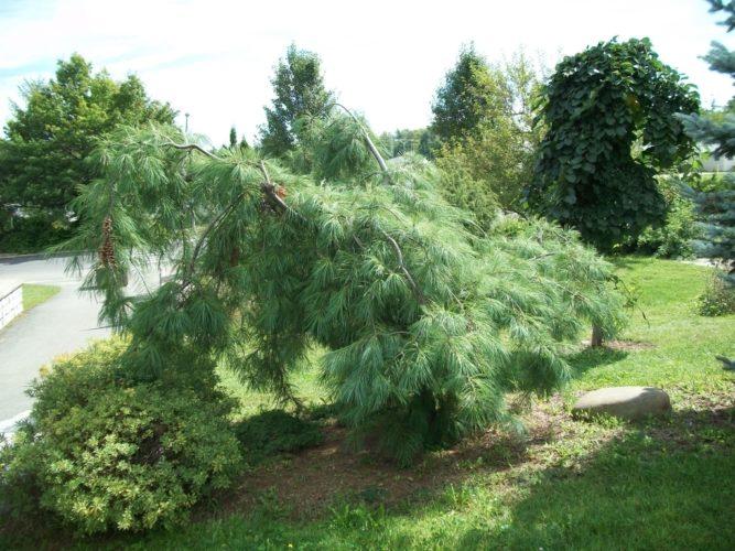 Pinus Strobus Pendula Weeping Eastern White Pine Conifer
