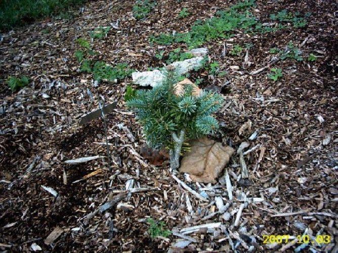 Abies Magnifica Nana Dwarf California Red Fir Conifer