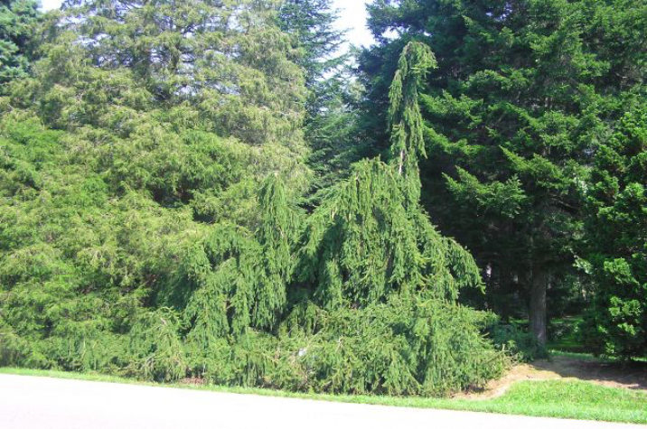 Picea Abies Inversa Weeping Norway Spruce Conifer Trinomial