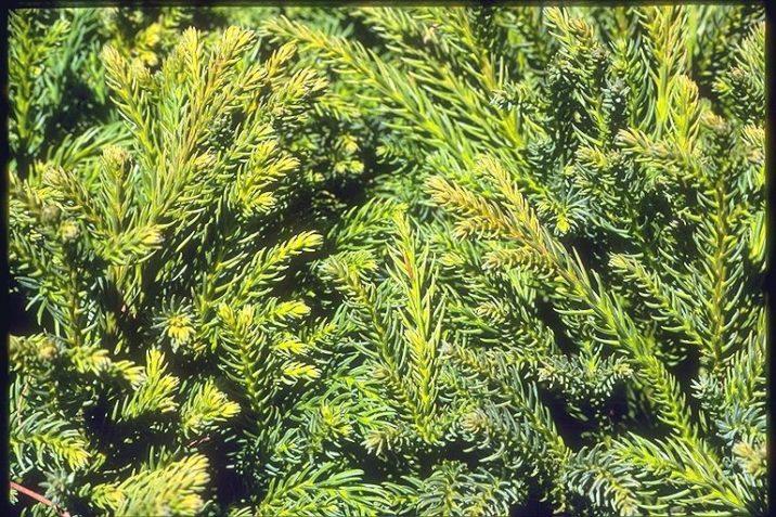 Cryptomeria Japonica Globosa Nana Globose Dwarf Japanese Cedar