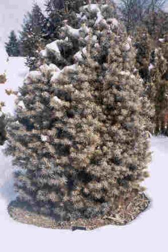 Abies Concolor Glauca Compacta Conifer Trinomial American