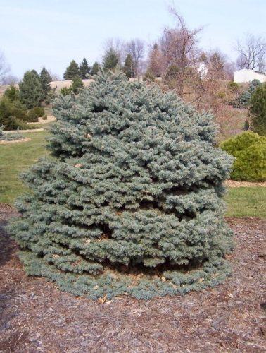 Blaufichte Blautanne Wurzelware 15 bis 30 cm Picea pungens glauca 3 Jahre 200 St
