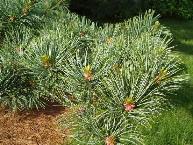 Pinus Koraiensis Glauca Korean Pine Conifer