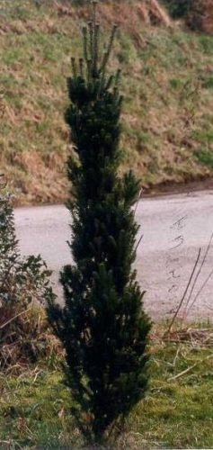 Abies Alba Fastigiata Fastigiate Silver Fir Conifer Trinomial