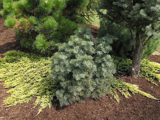 Abies Concolor Compacta Compact White Fir Conifer Trinomial