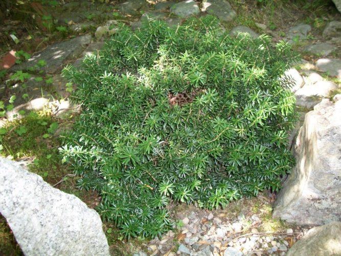 Abies Koreana Cis Cis Korean Fir Conifer Trinomial American