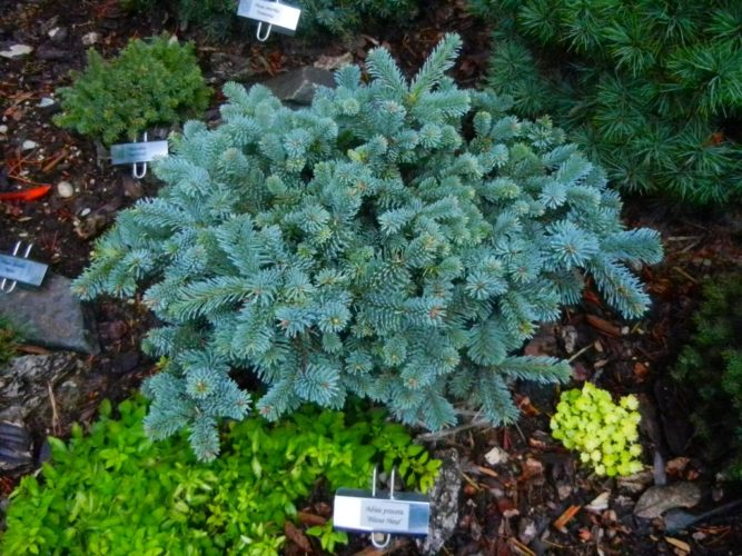 Abies Procera Blaue Hexe Blaue Hexe Noble Fir Conifer