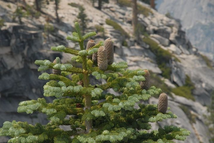 Abies Magnifica Var Magnifica California Red Fir Conifer