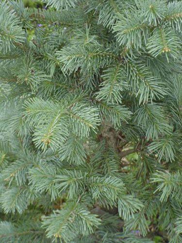 Abies Lasiocarpa Compacta Conifer Trinomial American Conifer