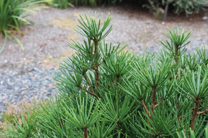 Sciadopitys Verticillata Picola Picola Japanese Umbrella Pine
