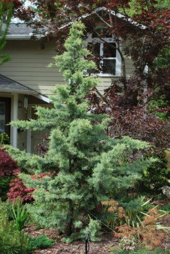 Cupressus Glabra Chaparral Chaparral Arizona Cypress Conifer