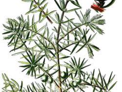common juniper, <em>Juniperus communis </em>a drawing by Bildagentur-online