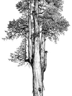 The Arco Giant, one of the largest known redwoods, illustration by Robert Van Pelt.