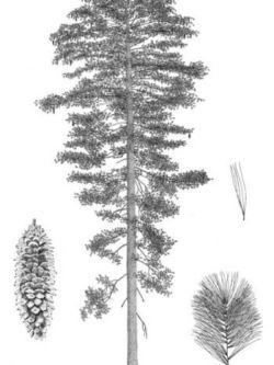 Pinus_lambertiana-350x551.jpg