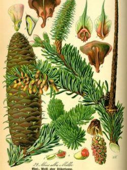 Illustration from Prof. Dr. Otto Wilhelm Thomé, Flora von Deutschland Österreich und der Schweiz, 1885