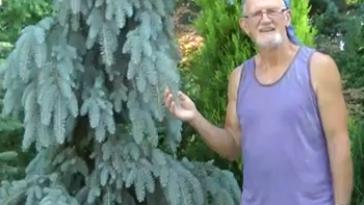 Colorado Spruce - <em>Picea pungens</em> 'The Blues'