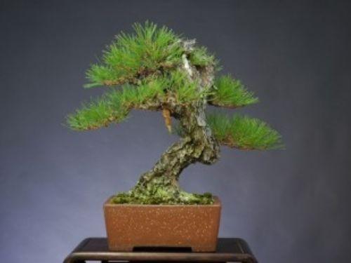 Aka matsu bonsai by Mario Komsta.