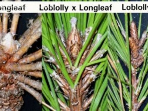 a comparison of the foliar buds between the hybrid and its parents.