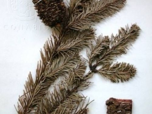 <em>Abies hickelii </em>—original herbarium speciem.