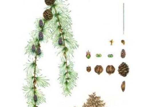botanical artwork by Masha Kirakova