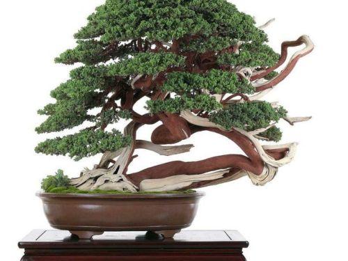 Juniperus procumbens bonsai by Ho Kuo Ming - Taiwan