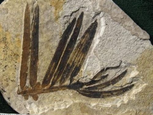 fossil <em>Amentotaxus </em>needles.