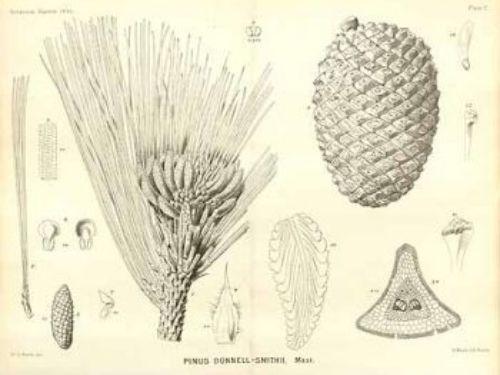 artwork courtesy of Edward's botanical registry, 1895.