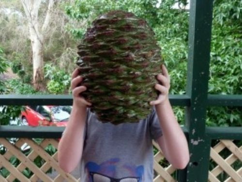 A comparison on how large the Pine Cones can grow — photo by Rob Munch.