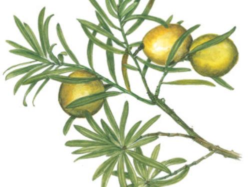 Afrocarpus-falcatus-FR-fem.jpg