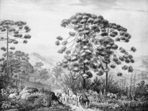 Araucaria-angustifolia_by_JohannRugendas-532x400-350x263.jpg