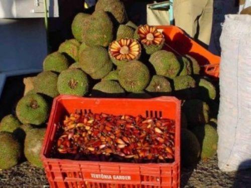 <em>Araucaria angustifolia </em>seeds, called pinhão, are popular as a winter snack