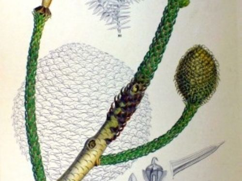<em>Araucaria cunninghamii </em>plate from Flora Japonica, Sectio Prima (Tafelband) by Philipp Franz von Siebold and Joseph Gerhard Zuccarini (1870)