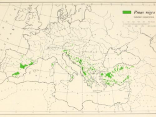 natural range of <em>Pinus nigra </em>