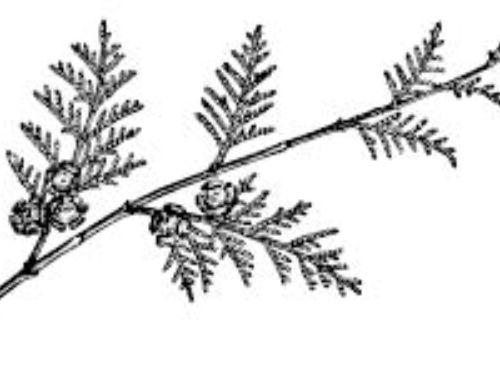 Chamaecyparis_lawsoniana-1.jpg