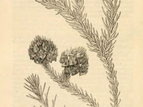 An uncoloured lithograph of leaves and cones. Journal of the Horticultural Society.