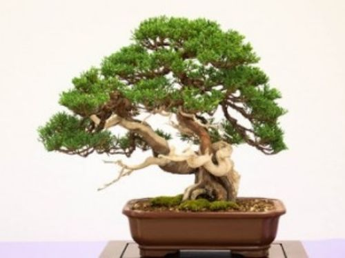 <em>Juniperus chinensis </em> is used extensively in the art of Bonsai. Photo courtesy of bonsaitonight.com